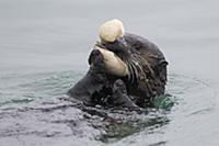 Sea Otter (Enhydra lutris) feeding on clam, Monter