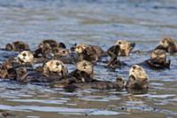 Sea Otter (Enhydra lutris) raft, Kodiak, Alaska
