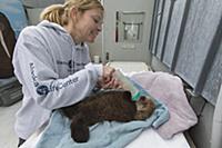 Sea Otter (Enhydra lutris) caretaker, Julie McCart