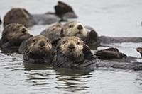 Sea Otter (Enhydra lutris) bachelor males, Montere