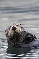 Sea Otter (Enhydra lutris), Alaska