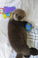 Sea Otter (Enhydra lutris) three week old orphaned