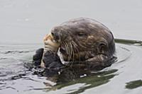 Sea Otter (Enhydra lutris) feeding on Fat Innkeepe