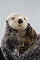 Sea Otter (Enhydra lutris) grooming, Prince Willia