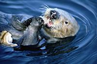 Sea Otter (Enhydra lutris) creates healthier Kelp