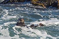 Sea Otter (Enhydra lutris), Monterey Bay, Californ