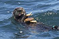 Sea Otter (Enhydra lutris) feeding on Dungeness Cr