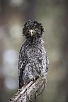 Great Gray Owl (Strix nebulosa) owlet after heavy
