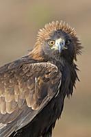 Golden Eagle (Aquila chrysaetos) adult, portrait w