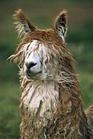 Alpaca (Lama pacos) altiplano, Bolivia