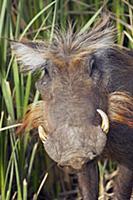 Warthog (Phacochoerus africanus), Djoudj National