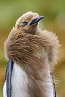 King Penguin (Aptenodytes patagonicus) chick molti