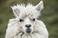 Alpaca (Lama pacos), Antisana Ecological Reserve,
