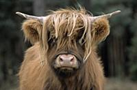 Domestic Cattle (Bos taurus), Highland breed, head