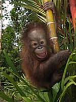 Orangutan (Pongo pygmaeus) young smiling while cli