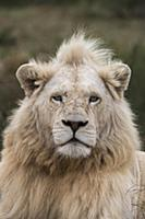 African Lion (Panthera leo) male, bred with half w
