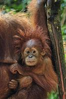 Sumatran Orangutan (Pongo abelii) mother with youn