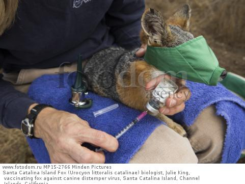 Santa Catalina Island Fox (Urocyon littoralis catalinae) biologist, Julie King, vaccinating fox against canine distemper virus, Santa Catalina Island, Channel Islands, California