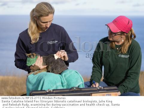 Santa Catalina Island Fox (Urocyon littoralis catalinae) biologists, Julie King and Rebekah Rudy, examining fox during vaccination and health check up, Santa Catalina Island, Channel Islands, California