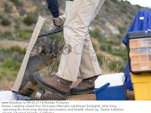 Santa Catalina Island Fox (Urocyon littoralis catalinae) biologist, Julie King, removing fox from trap during vaccination and health check up, Santa Catalina Island, Channel Islands, California