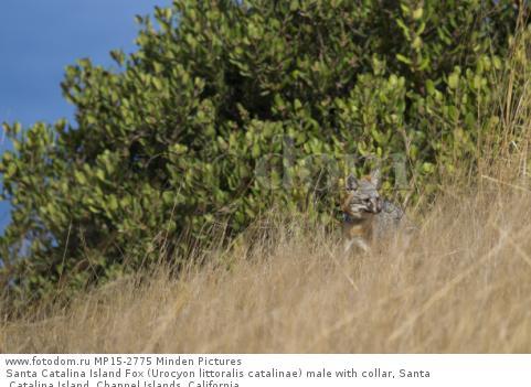 Santa Catalina Island Fox (Urocyon littoralis catalinae) male with collar, Santa Catalina Island, Channel Islands, California