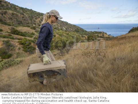 Santa Catalina Island Fox (Urocyon littoralis catalinae) biologist, Julie King, carrying trapped fox during vaccination and health check up, Santa Catalina Island, Channel Islands, California