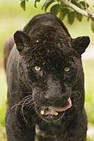 Jaguar (Panthera onca) melanistic individual, also
