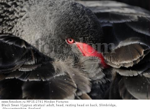 Black Swan (Cygnus atratus) adult, head, resting head on back, Slimbridge, Gloucestershire, England