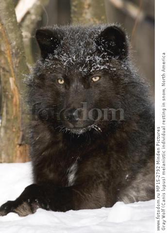 Gray Wolf (Canis lupus) melanistic individual resting in snow, North America