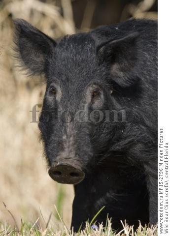 Wild Boar (Sus scrofa), central Florida