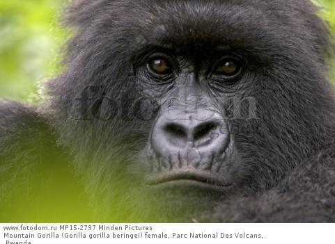 Mountain Gorilla (Gorilla gorilla beringei) female, Parc National Des Volcans, Rwanda