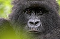 Mountain Gorilla (Gorilla gorilla beringei) female