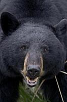 Black Bear (Ursus americanus), Alberta, Canada