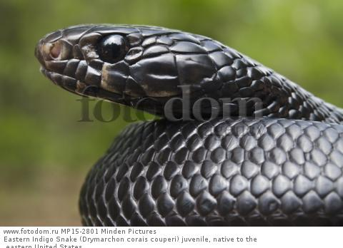 Eastern Indigo Snake (Drymarchon corais couperi) juvenile, native to the eastern United States