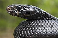 Eastern Indigo Snake (Drymarchon corais couperi) j