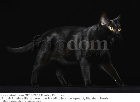 British Bombay (Felis catus) cat blending into background, Bielefeld, North Rhine-Westphalia, Germany
