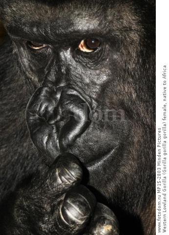 Western Lowland Gorilla (Gorilla gorilla gorilla) female, native to Africa