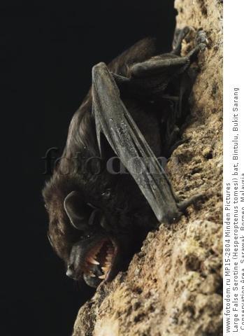 Large False Serotine (Hesperoptenus tomesi) bat, Bintulu, Bukit Sarang Conservation Area, Sarawak, Borneo, Malaysia