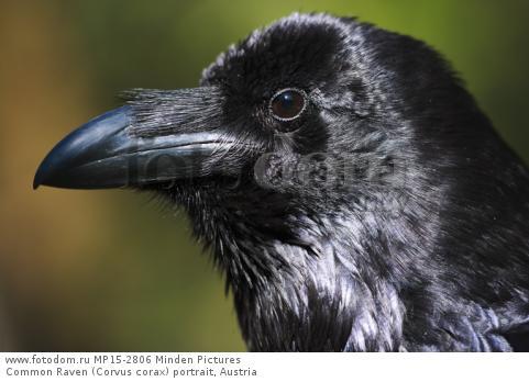 Common Raven (Corvus corax) portrait, Austria