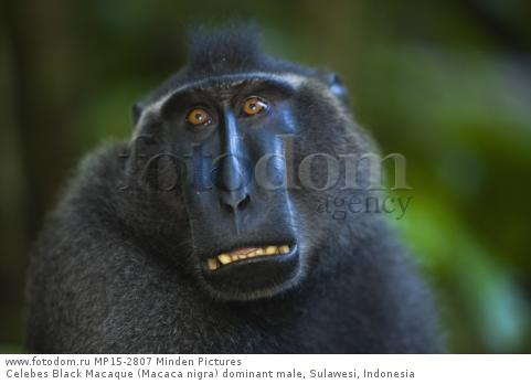Celebes Black Macaque (Macaca nigra) dominant male, Sulawesi, Indonesia