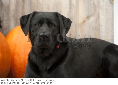 Black Labrador Retriever (Canis familiaris)
