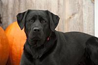 Black Labrador Retriever (Canis familiaris)