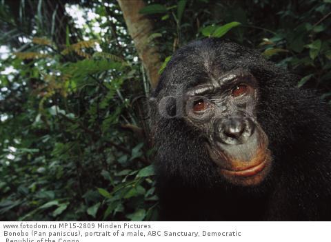Bonobo (Pan paniscus), portrait of a male, ABC Sanctuary, Democratic Republic of the Congo