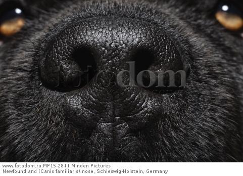Newfoundland (Canis familiaris) nose, Schleswig-Holstein, Germany