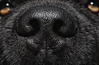 Newfoundland (Canis familiaris) nose, Schleswig-Ho
