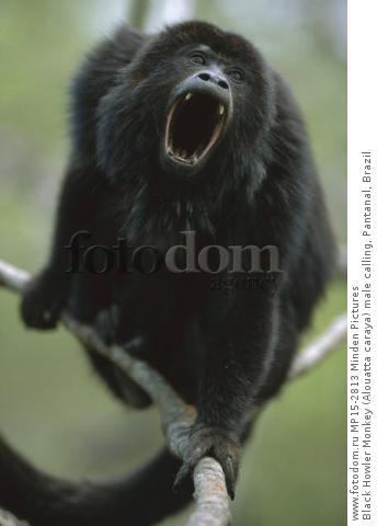 Black Howler Monkey (Alouatta caraya) male calling, Pantanal, Brazil