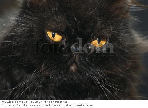 Domestic Cat (Felis catus) black Persian cat with amber eyes