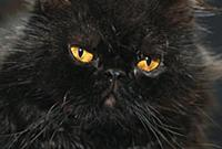 Domestic Cat (Felis catus) black Persian cat with