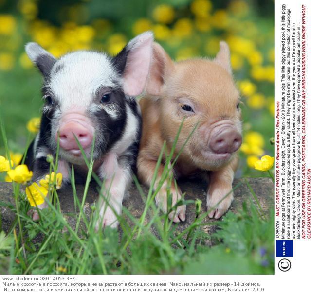 свинья (2010)