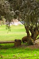 Wooden bench under olive tree